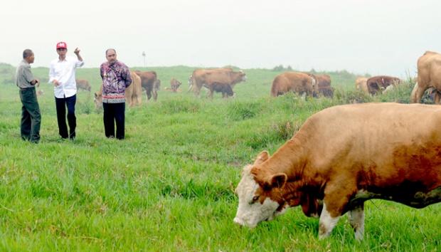 peternakan-sapi